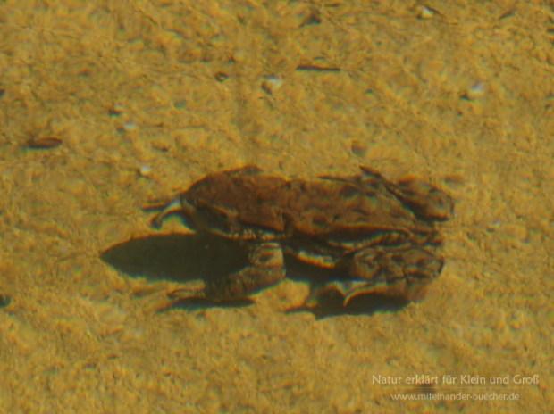 Tiere im Teich - Die Erdkröte