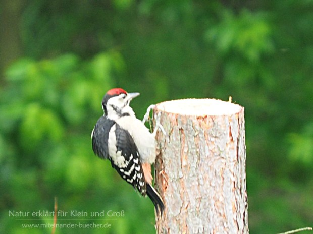 Auch Vogelkinder müssen üben - Die Buntspechtfamilie