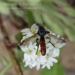 Raupenfliege mag Baumwanze - Cylindromyia bicolor