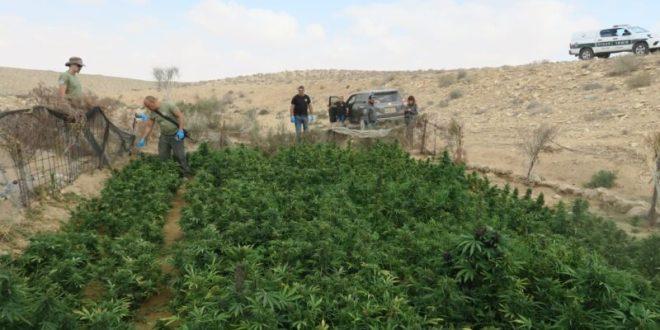 מאות שתילי מריחואנה נתפסו בשטח אש סמוך לקיבוץ רביבים בנגב