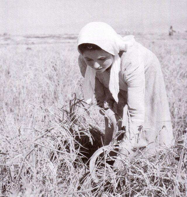 Δημήτρης Χαρισιάδης: Γυναίκα που θερίζει με δρεπάνι. Ορυζώνες Σερρών-Στρυμώνα. 1950