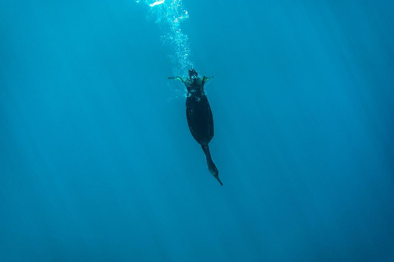 Θαλασσοκόρακας. Ο ελληνικός κορμοράνος που βουτά στα 60 μέτρα για να τραφεί. Είναι από τα λίγα πουλιά που αναπαράγεται χειμώνα και ονομάστηκε Αριστοτέλης