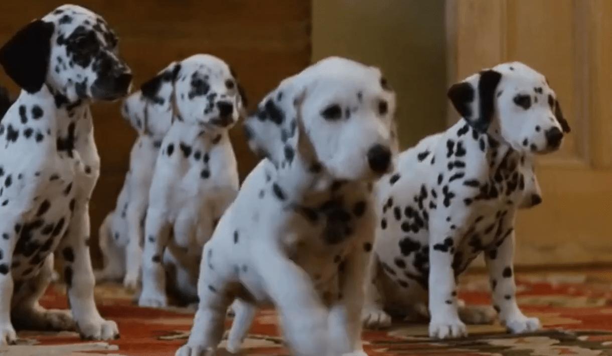 """Το σκάνδαλο των """"101 σκυλιών Δαλματίας"""". Η κακοποίηση των σκυλιών, η εμπορευματοποίηση της ράτσας και η ανεξέλεγκτη εγκατάλειψή τους, μετά την ταινία"""