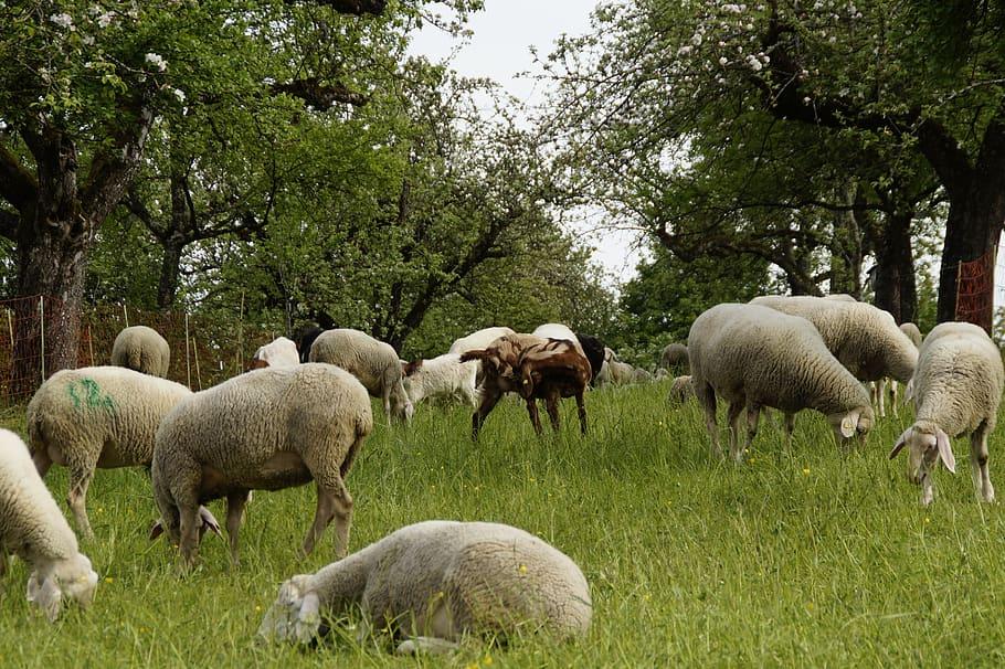 Κτηνοτρόφος καταδικάστηκε σε κατ' οίκον περιορισμό για την κακομεταχείριση εκατοντάδων προβάτων στη Ν. Ζηλανδία. 226 οδηγήθηκαν στην ευθανασία