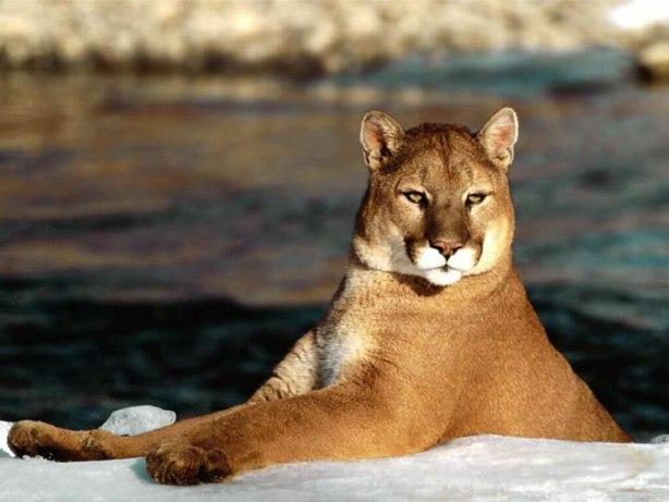 Puma,carnivorul patagoniei