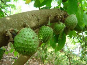 graviola fructul care ar putea revolutiona tratamentul cancerului