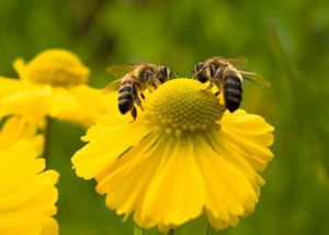 Oameni si albine, o prietenie veche de mii de ani (2)