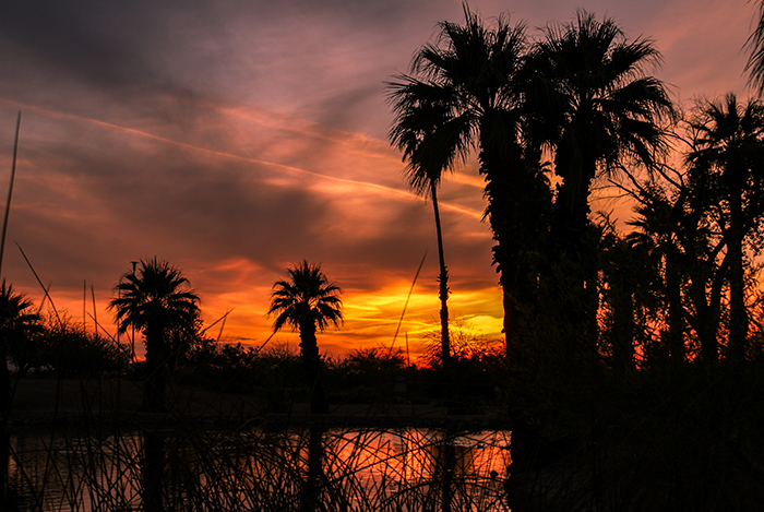 Arizona Palm Trees