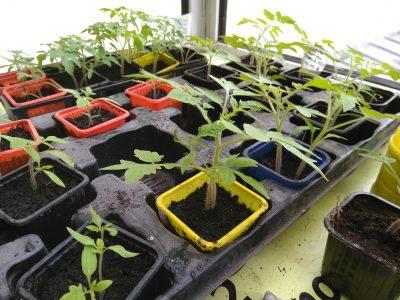 Les semis de tomates après quelques semaines