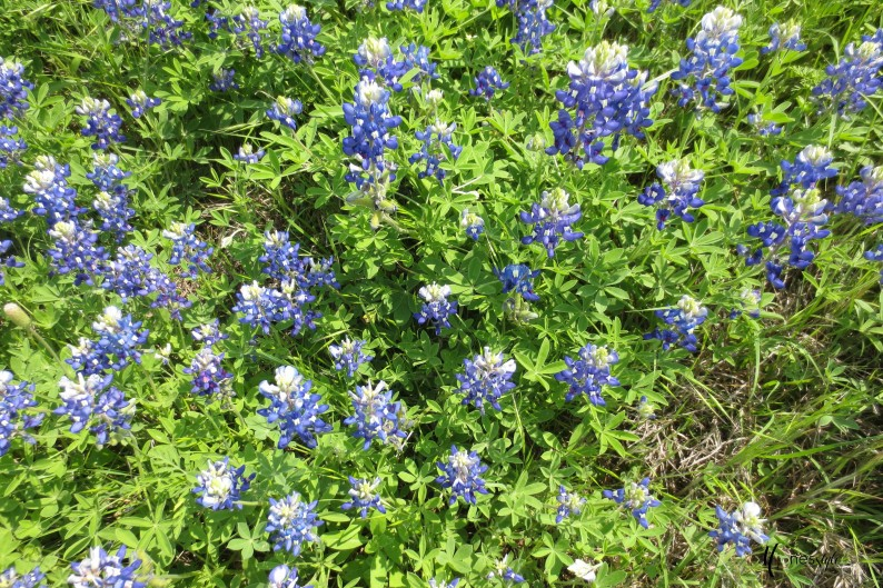 #bluebonnets#texas bluebonnets