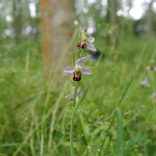 Bee orchid, Perry Wood, 17.06.20, 0755