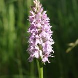 Common Spotted Orchid, Perry Wood, 23.06.20, 0715