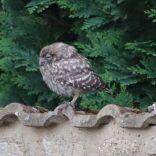 Little Owl, Manor Courtyard, 14.07.20, 1854