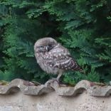 Little Owl, Manor Courtyard, 14.07.20, 1855