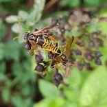 Figwort Sawflies, The Ridings, 16.08.20, 1050