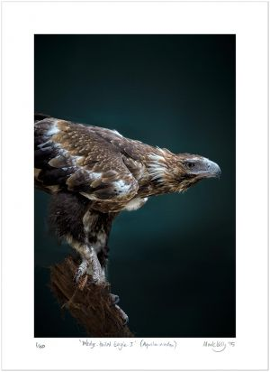 Wedge-tailed Eagle I