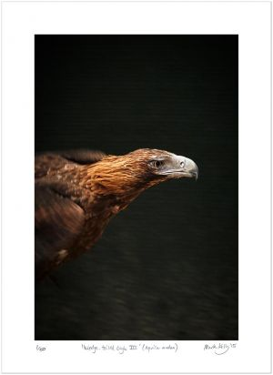 Wedge-tailed Eagle III