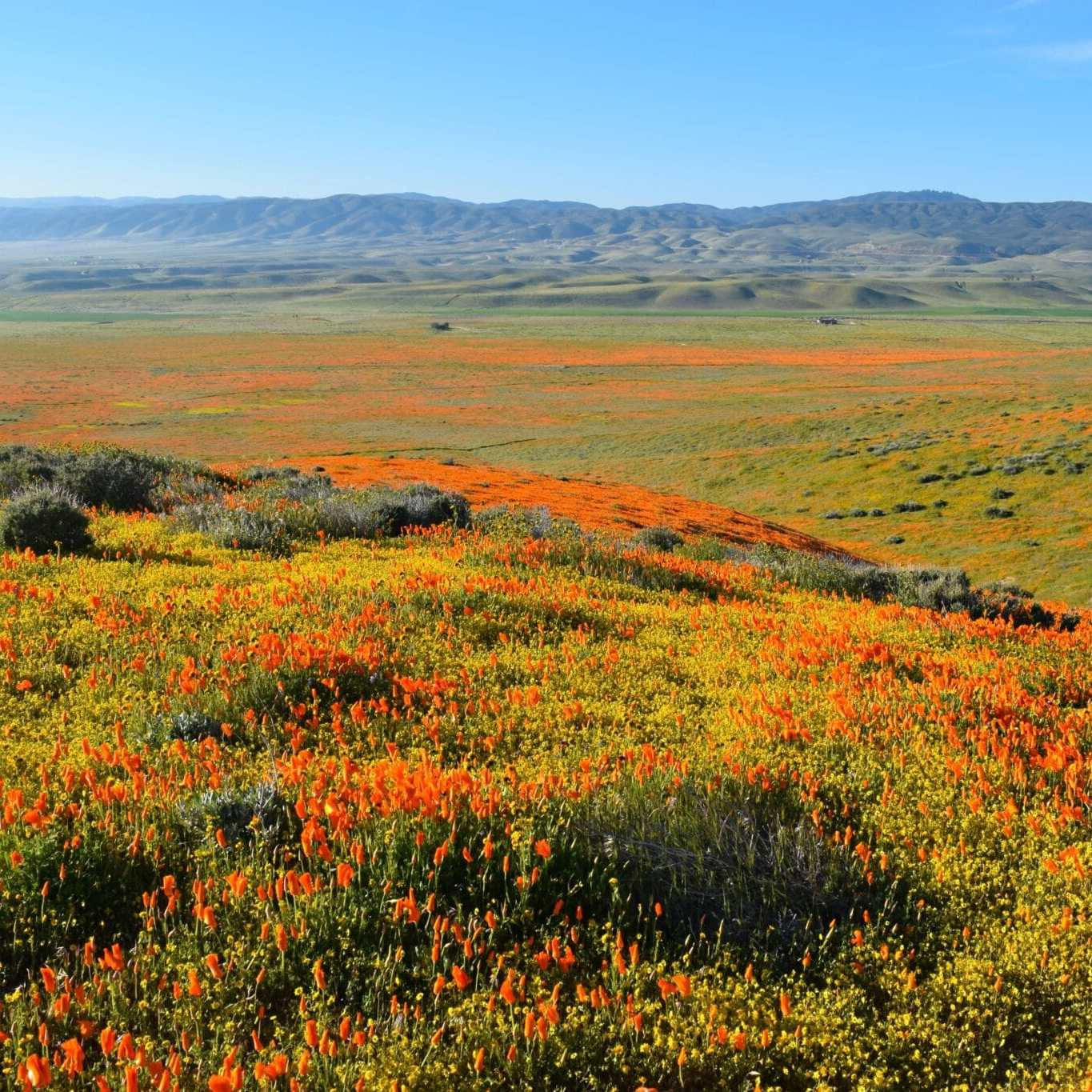California Super Bloom Antelope Valley Poppy Reserve