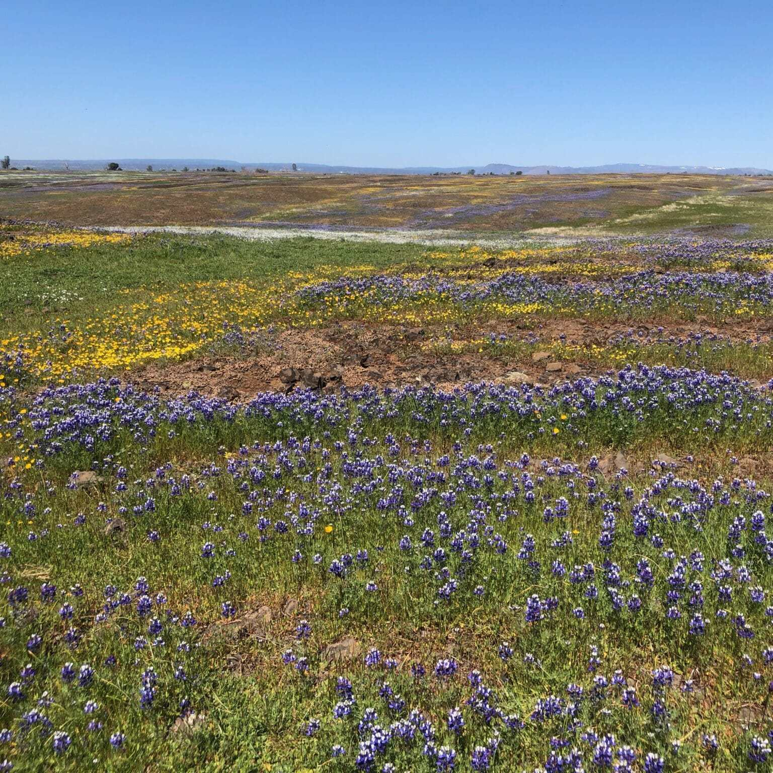 Field of wildflowers, North Tabletop Mountain Ecological Reserve