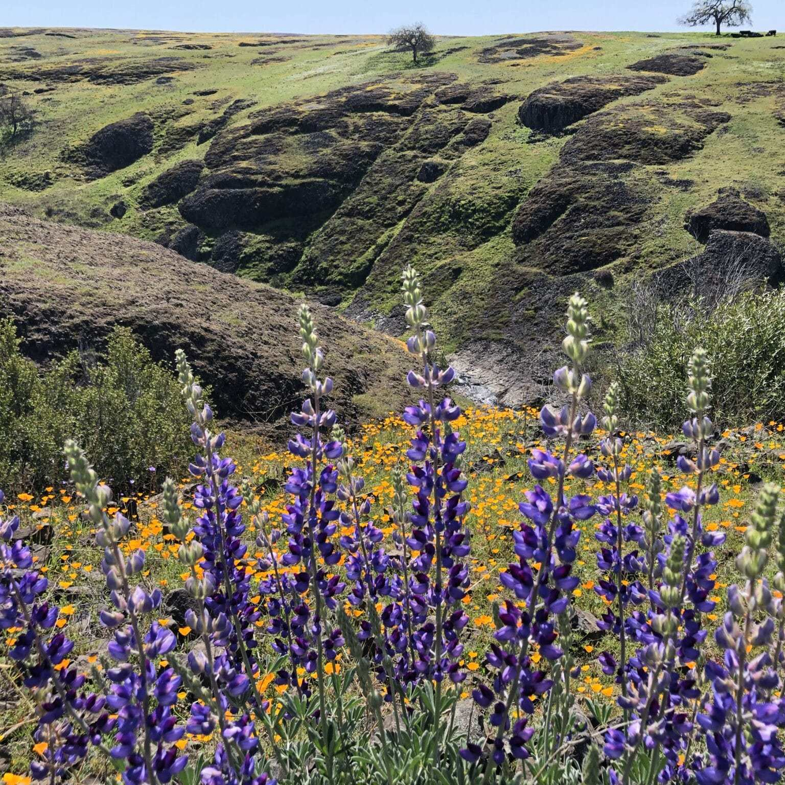 Lupines, North Tabletop Mountain Ecological Reserve