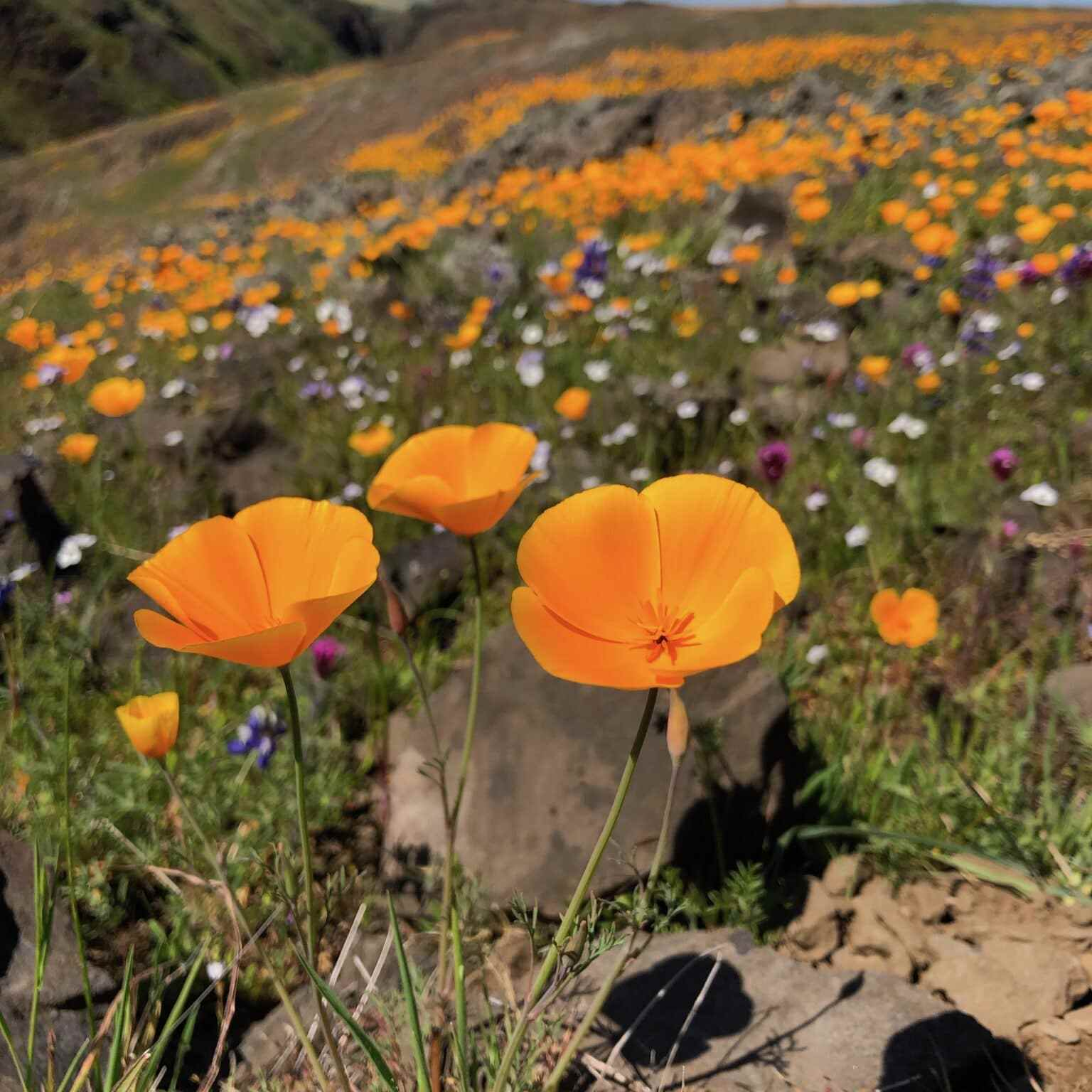 California Poppies, North Tabletop Mountain Ecological Reserve
