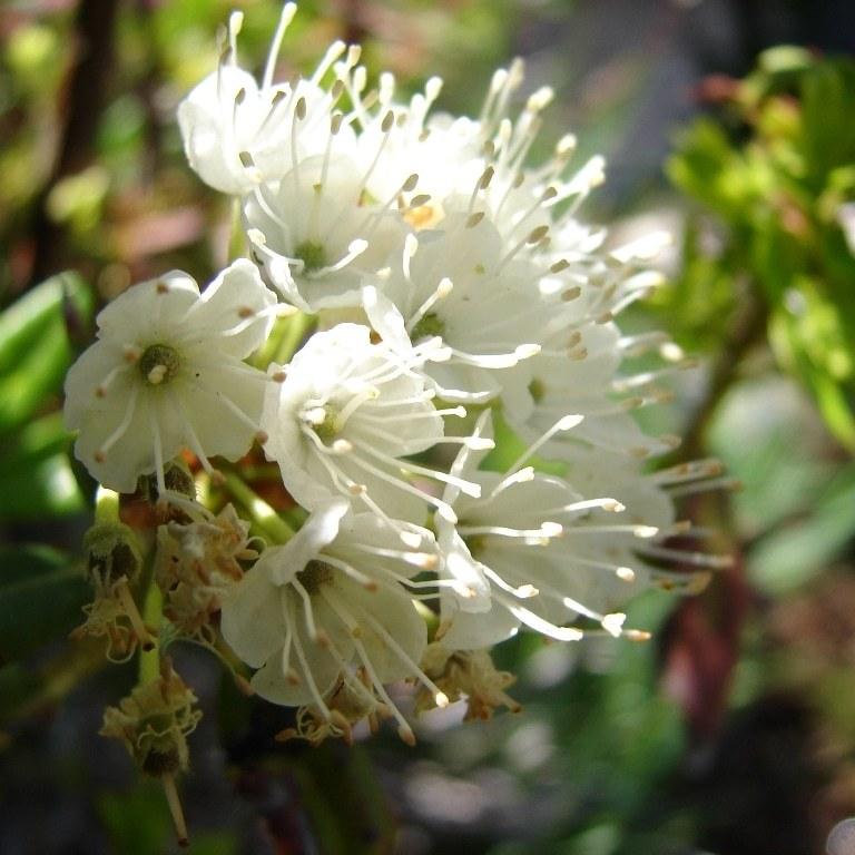 Western labrador tea lassen volcanic national park