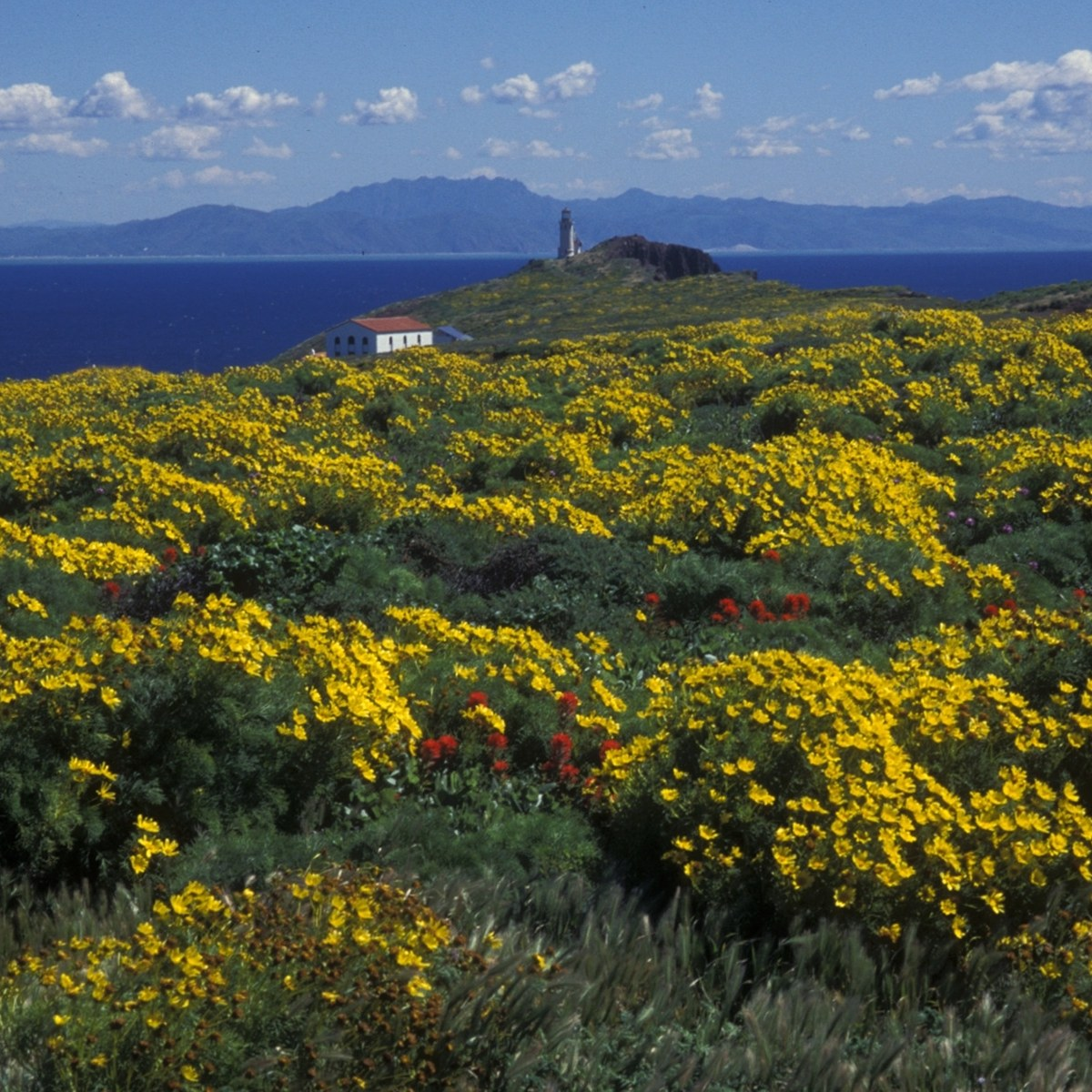 Coreopsis, Channel Islands National Park
