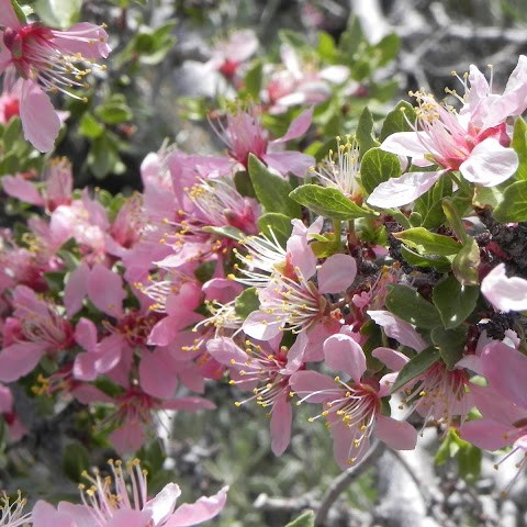 California super bloom desert peach