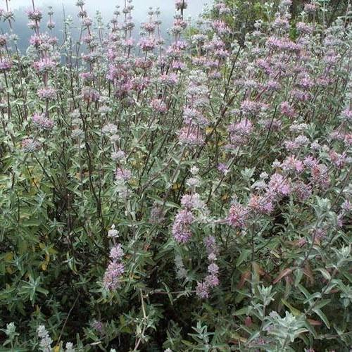 California Super Bloom, Purple Sage