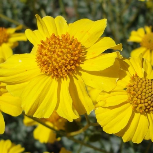 California Super Bloom, Brittlebush