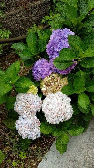 Belle brochette d'hortensias