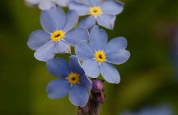 Mysostis Sylvatica (Wod forget-me-not) closed up