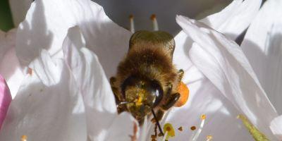 Honey bee at the cherry tree flower.