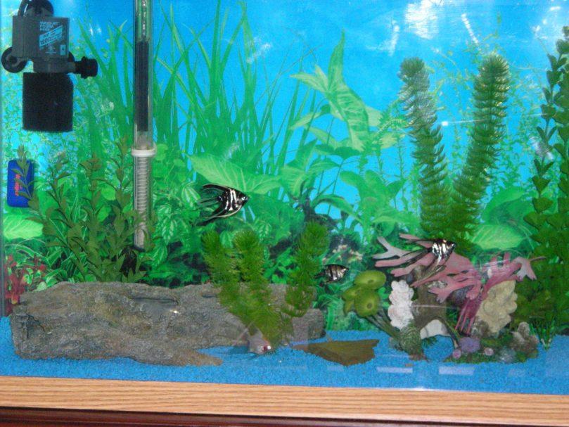 Angelfish swimming