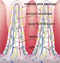 budowa kosmka jelitowego, http://naszecialo.blog.onet.pl/2009/07/01/jelito-cienkie/