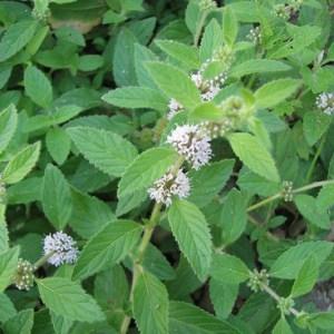 Wild Medicinals
