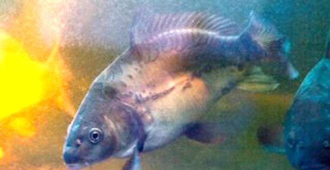 Menemukan Virus Penyerang Ikan Mas