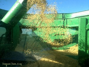 Newly harvested corn in the combine grain tank