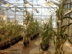 Corn Plant Research