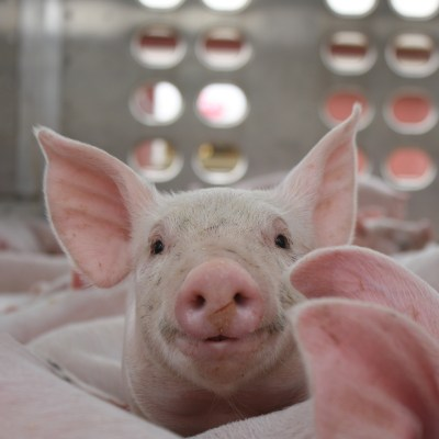 Can You Raise Pigs Antibiotic-Free?