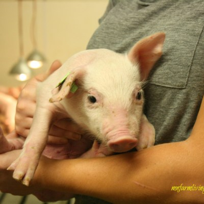 12 Frequently Asked Questions About Pigs