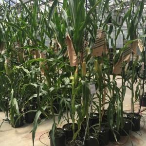 corn breeding