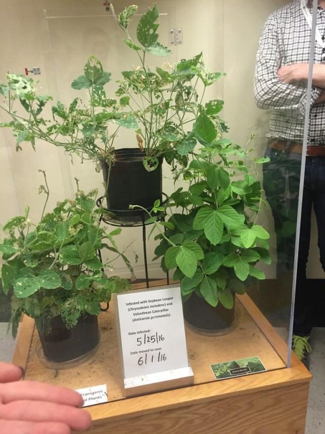 GMO plants