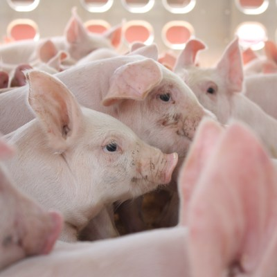 Why Pig Farmers Are Audited