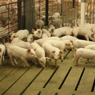 Behind the Scenes Look at Moving Pigs
