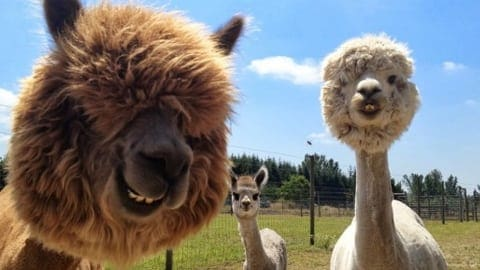 alpaca close up head