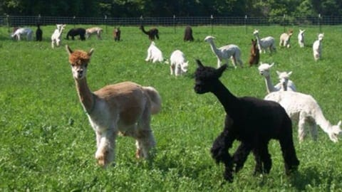 Visit Northfield alpacas in field