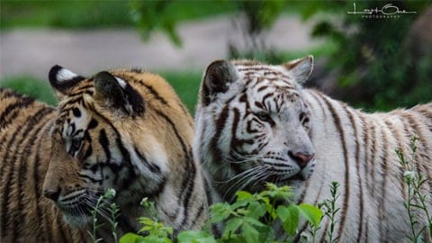 tigers at the pine grove zoo