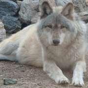 traveling naturalist wolf