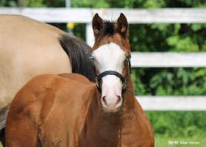 """""""Macho"""" APHA colt for sale. Hypp NH , NN for the pther test of the 5 panel. Sire is Awesome Andy, dam is a daughter of KCS out of a daughter of Sockett Sensation."""